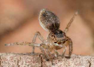 Female Peacock Spider