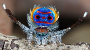 Male Peacock Spider
