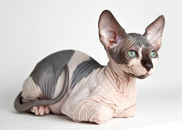 sphynx-cat1