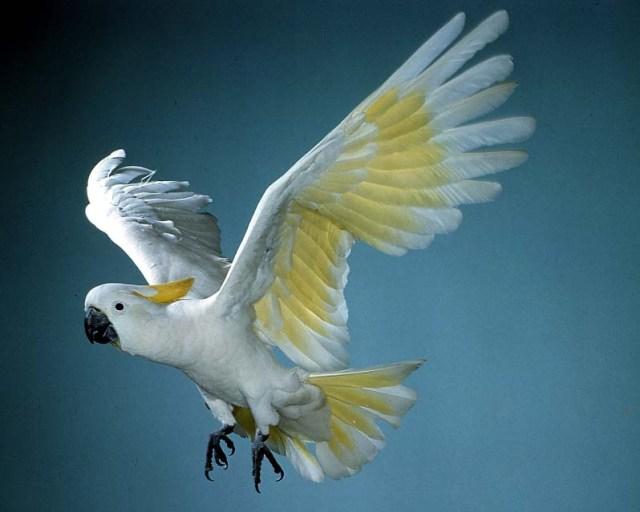 sulphur-crested_cockatoo