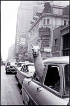 1950s- Because who wouldn't want a llama in New York